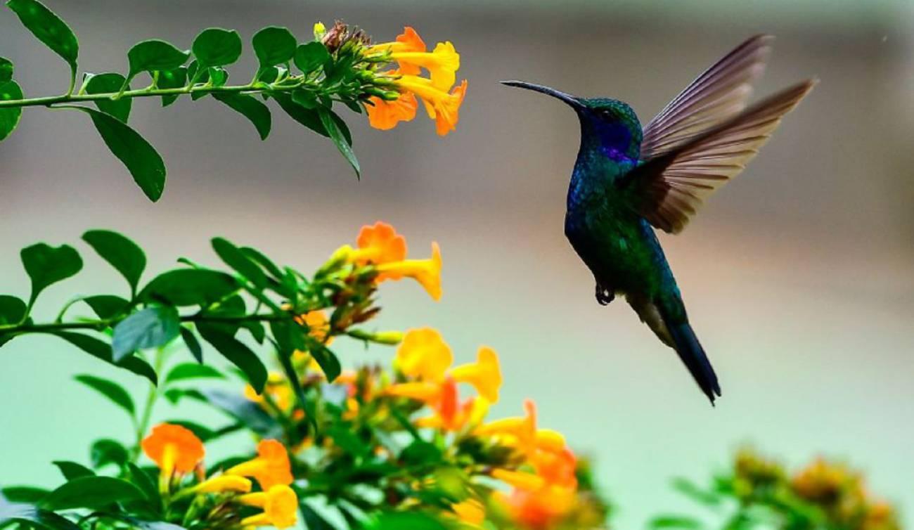 colibrie comiendo de una flor