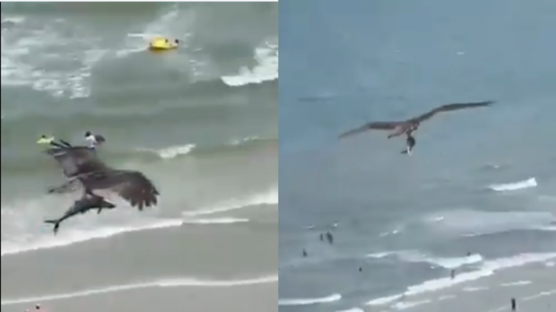 Águila caza a un tiburón en la playa; luego se lo lleva volando