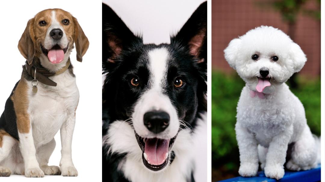 Estas son las 10 razas de perritos más saludables
